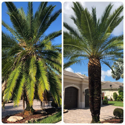Pembroke Pines tree services include palm tree trimming