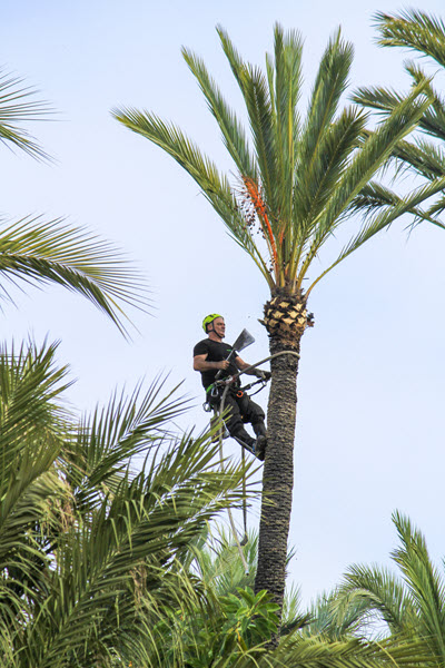 Palm tree trimming in Pembroke Pines Florida